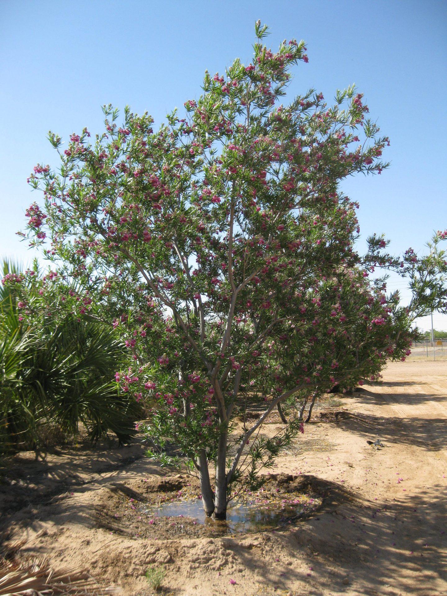 Chilopsis Linearis  U0026 39 Bubba U0026 39   Desert Willow