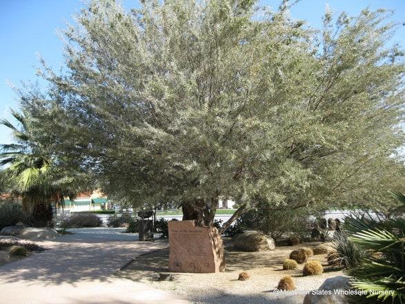 Acacia Aneura Mulga Mountain States Wholesale Nursery
