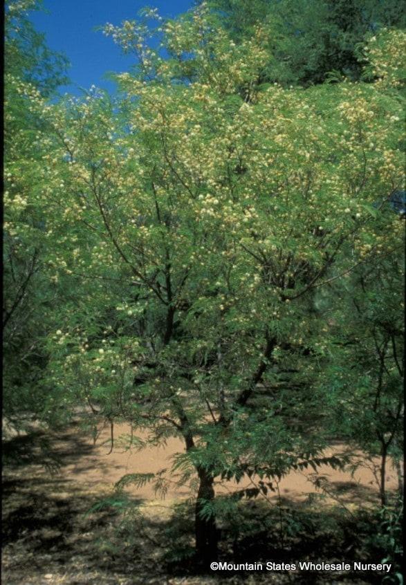 Acacia Berlandieri  Guajillo