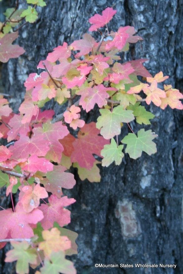 Acer Grandidentatum Bigtooth Maple Mountain States