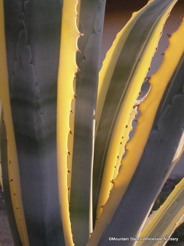 Agave americana v  marginata (Variegated Century Plant) - Mountain
