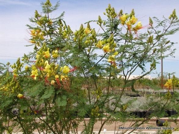 Caesalpinia Gilliesii Yellow Bird Of Paradise Hardy Bird Of