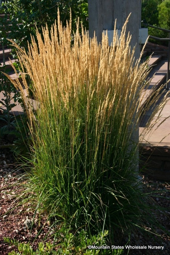 Calamagrostis X Acutiflora Karl Foerster Feather Reed