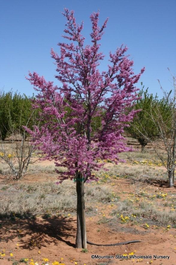 Cercis Canadensis V Texensis Texas Redbud Mountain States