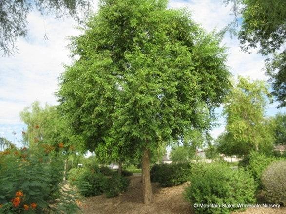 Dalbergia Sissoo Rosewood Sissoo Tree Mountain States