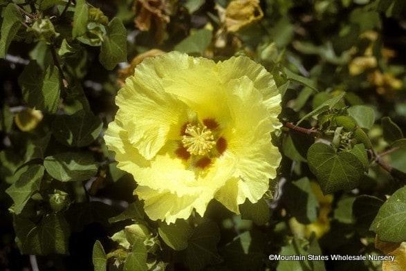 Gossypium harknessii (San Marcos Hibiscus) - Mountain States