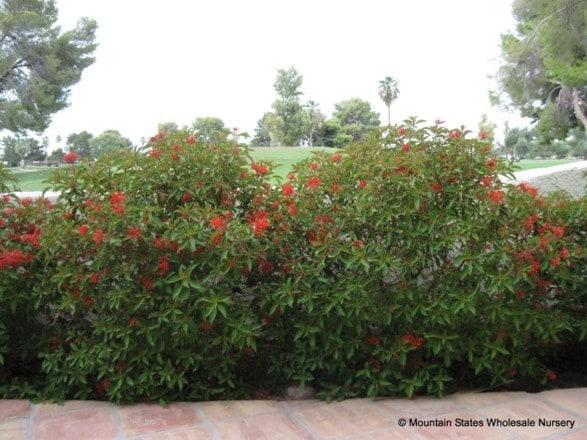 Garden Bush: Hamelia Patens Sierra Red™ (Firebush, Hummingbird Bush