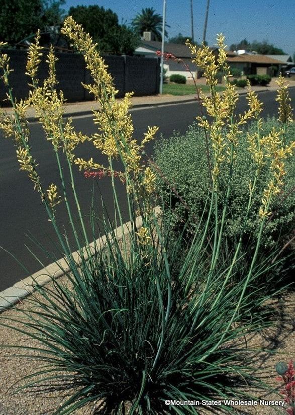 Hesperaloe Parviflora Yellow Yellow Hesperaloe