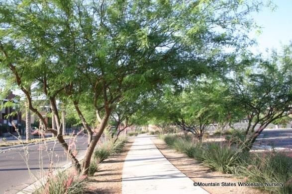 Prosopis X Phoenix Thornless South American Mesquite