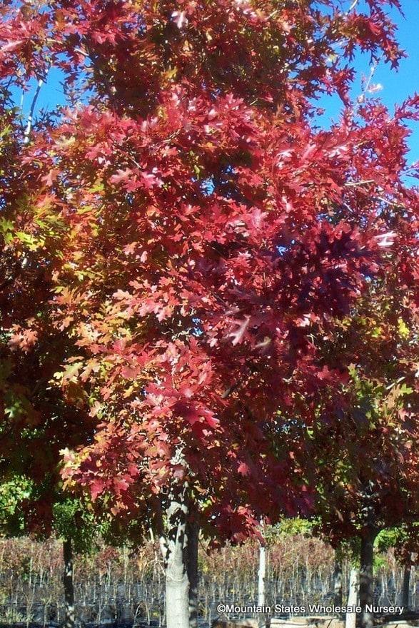 Quercus Buckleyi Texas Red Oak Mountain States