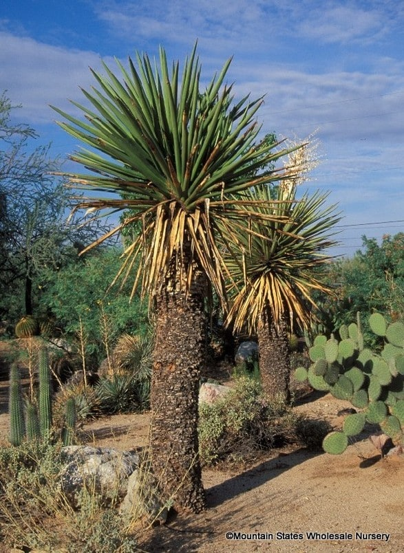 Yucca Faxoniana Spanish Dagger Giant White Yucca