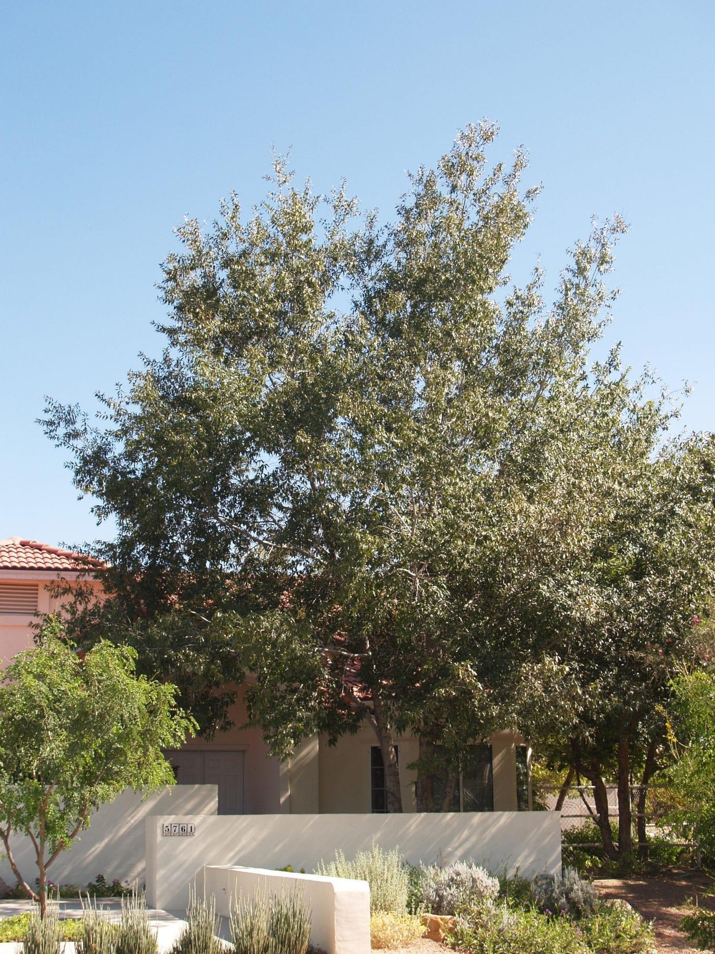 Quercus Canbyi Canby Oak Sierra Oak Mountain States