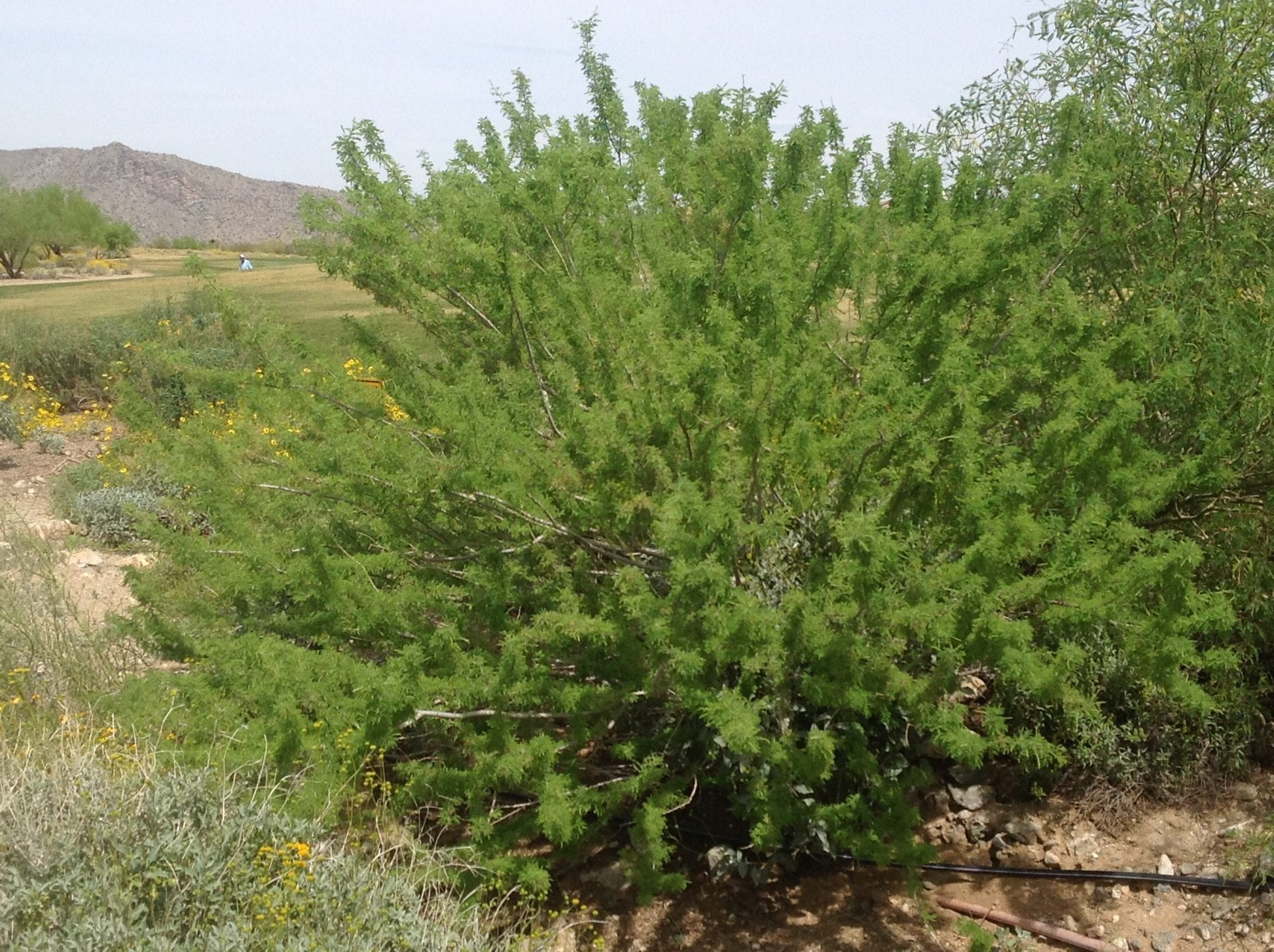 Acacia Greggii Catclaw Acacia Mountain States Wholesale Nursery